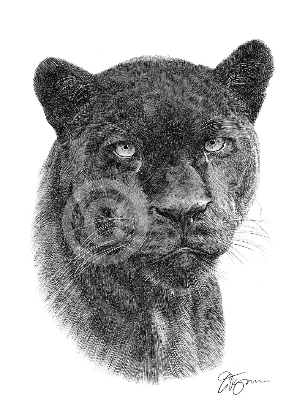 BLACK PANTHER Pencil Drawing Art Print A4/A3 Sizes African Wildlife Artwork | EBay