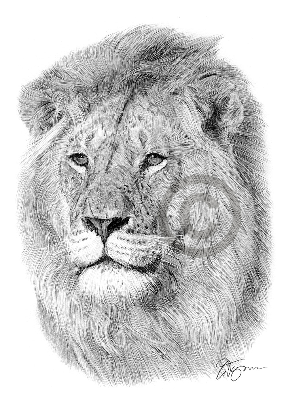 Details about african lion pencil drawing print a3 a4 sizes signed by artist gary tymon