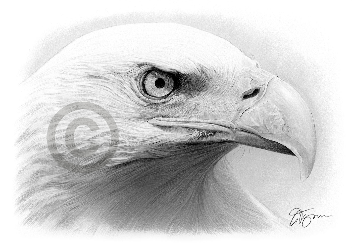 Details about bald eagle pencil drawing art print a4 a3 signed by uk artist bird artwork