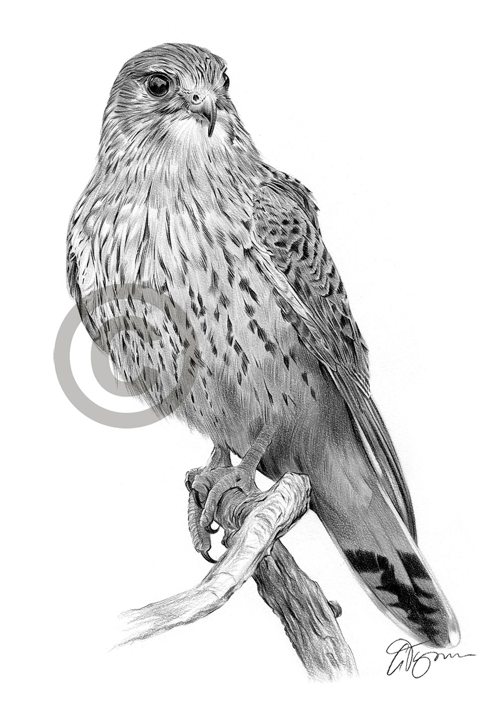Details about kestrel pencil drawing art print a4 a3 signed artwork bird of prey