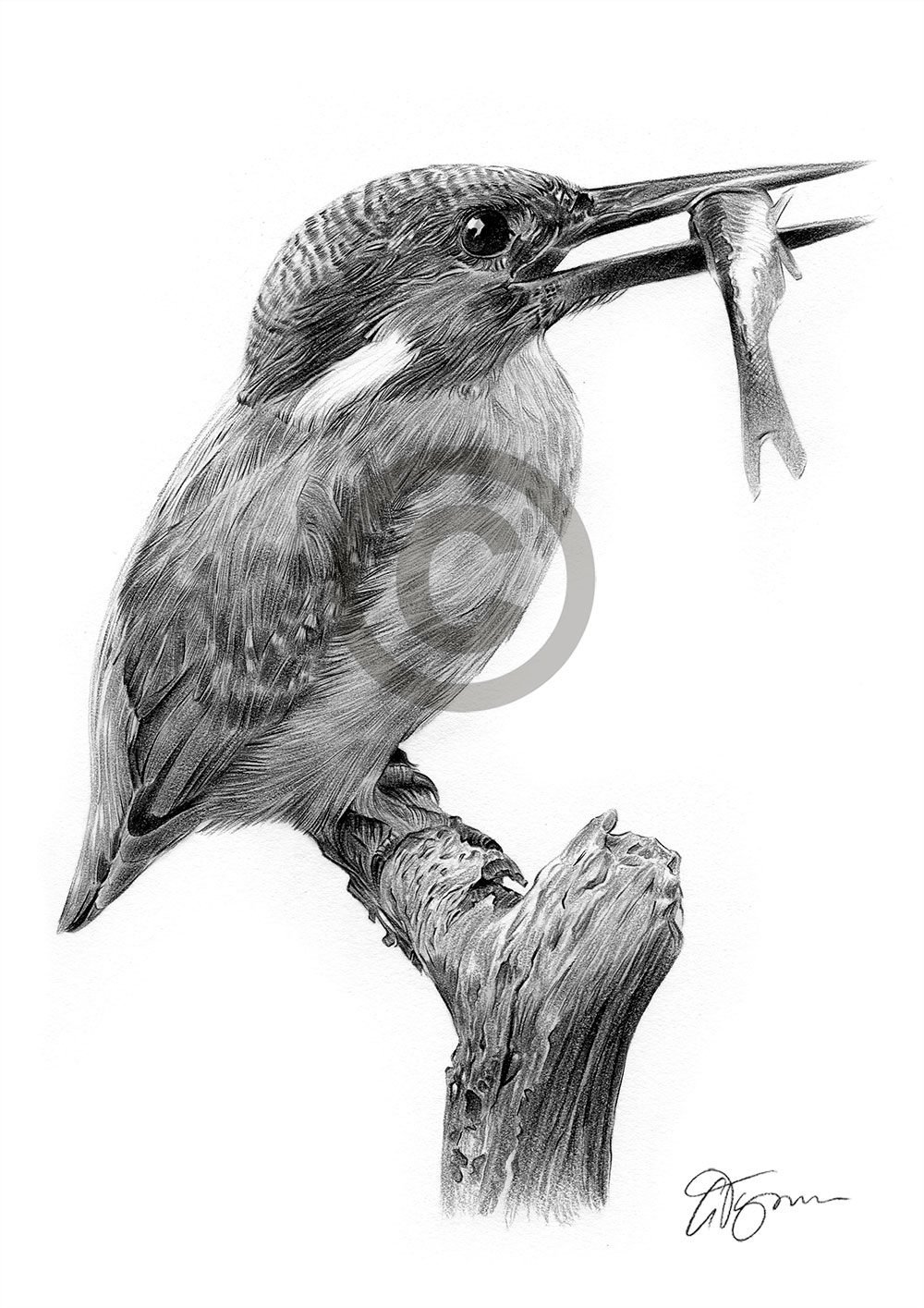 KINGFISHER pencil drawing art print A3 / A4 sizes signed ...