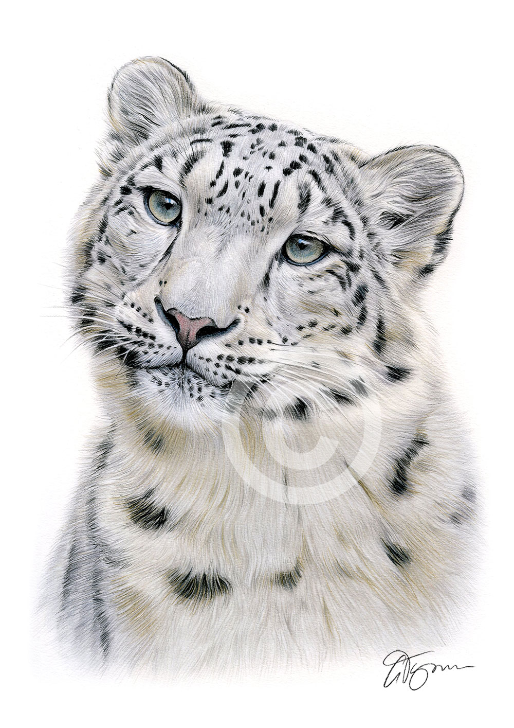 Snow Leopard Colour Pencil Drawing Print A4 A3 Signed By Uk Artist Artwork Ebay