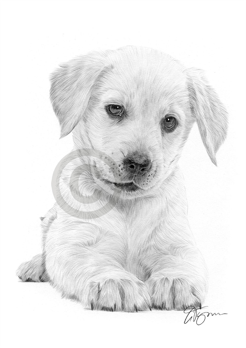 Labrador Retriever Puppy Dog Pencil Drawing Artwork Print A4 Size Pet Portrait Ebay