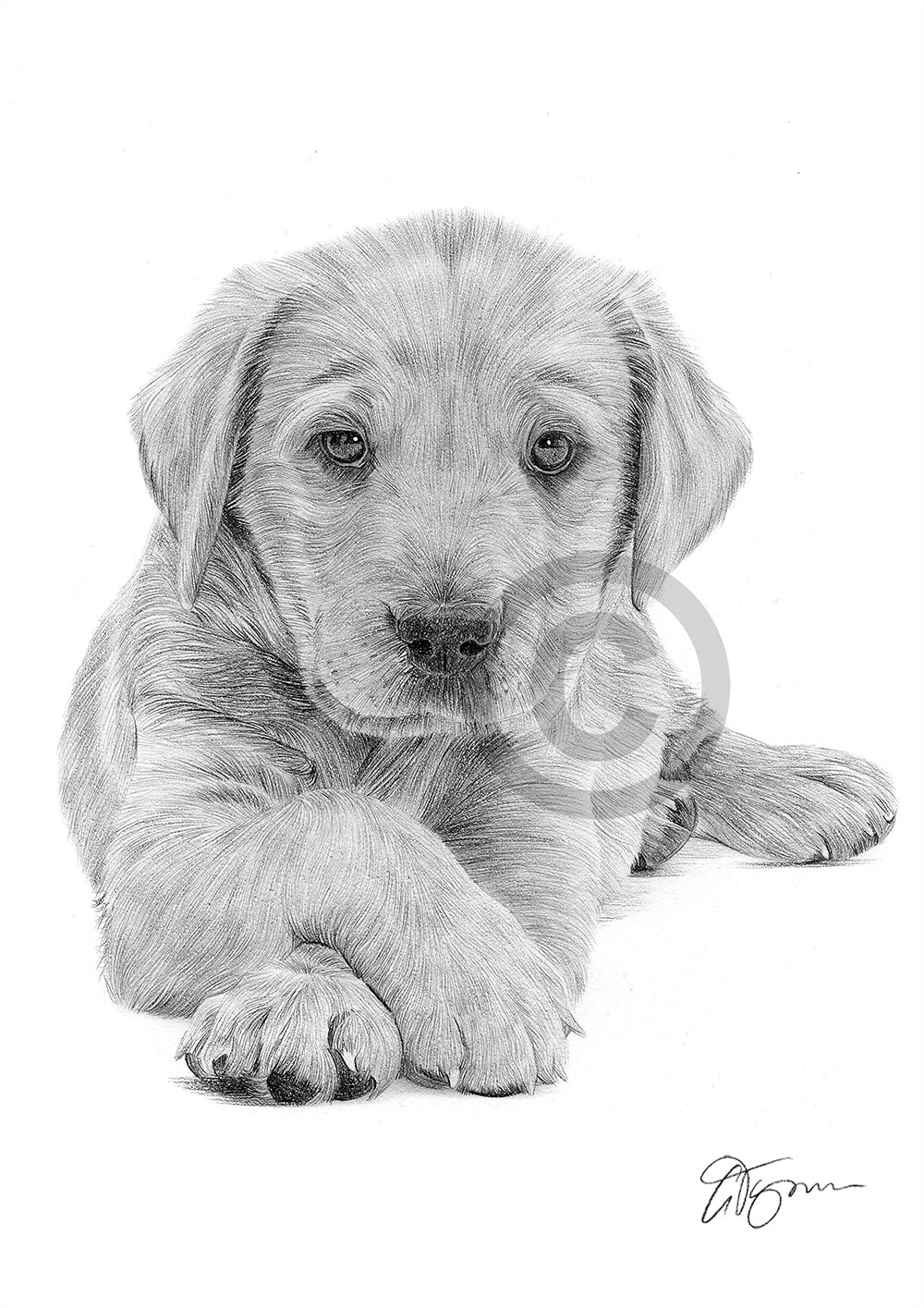 Labrador Puppy Pencil Drawing Art Print A4 Size By Uk Artist Dog Pet Portrait Ebay