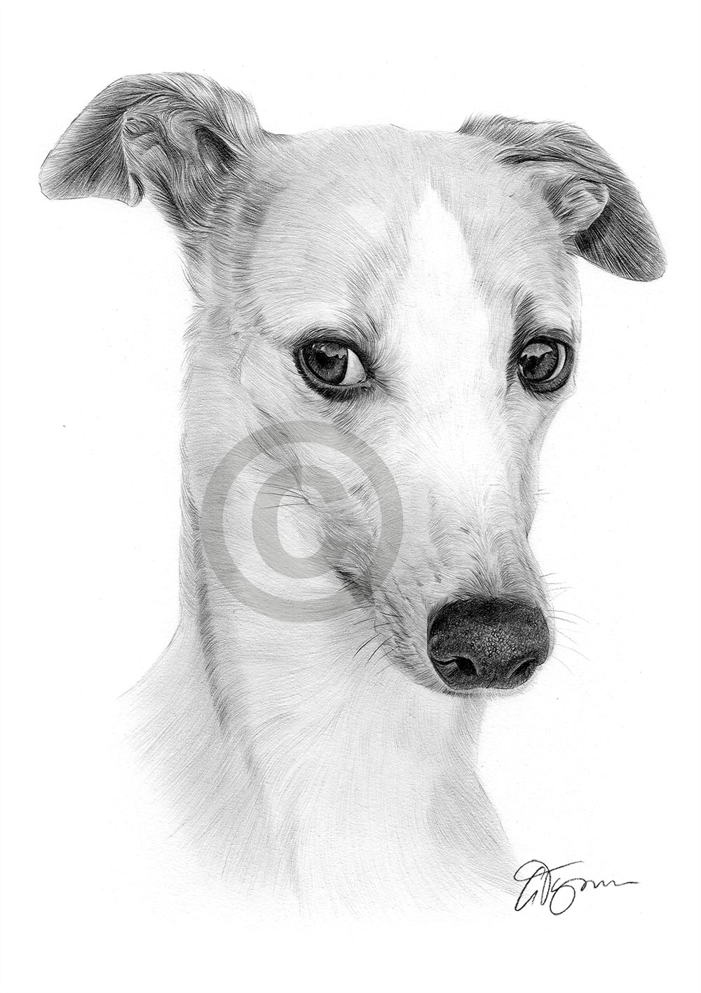 Whippet pencil drawing