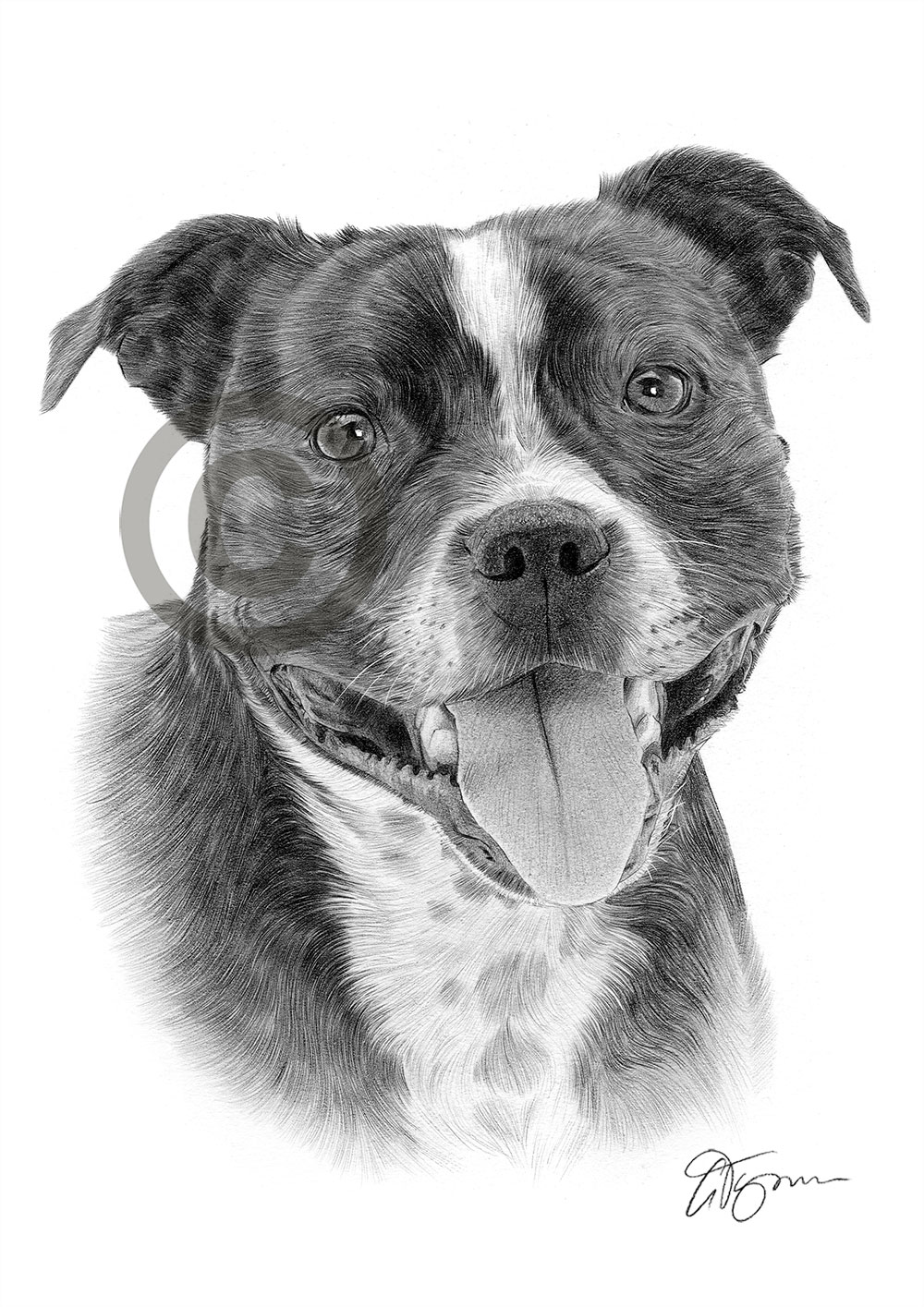 bull terrier artist staffy staffordshire bull pencil drawing print a4 only 480