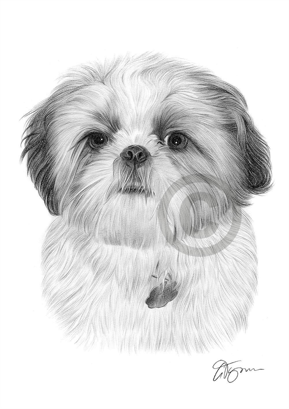 SHIH TZU art pencil drawing print A4 / A3 signed dog ...