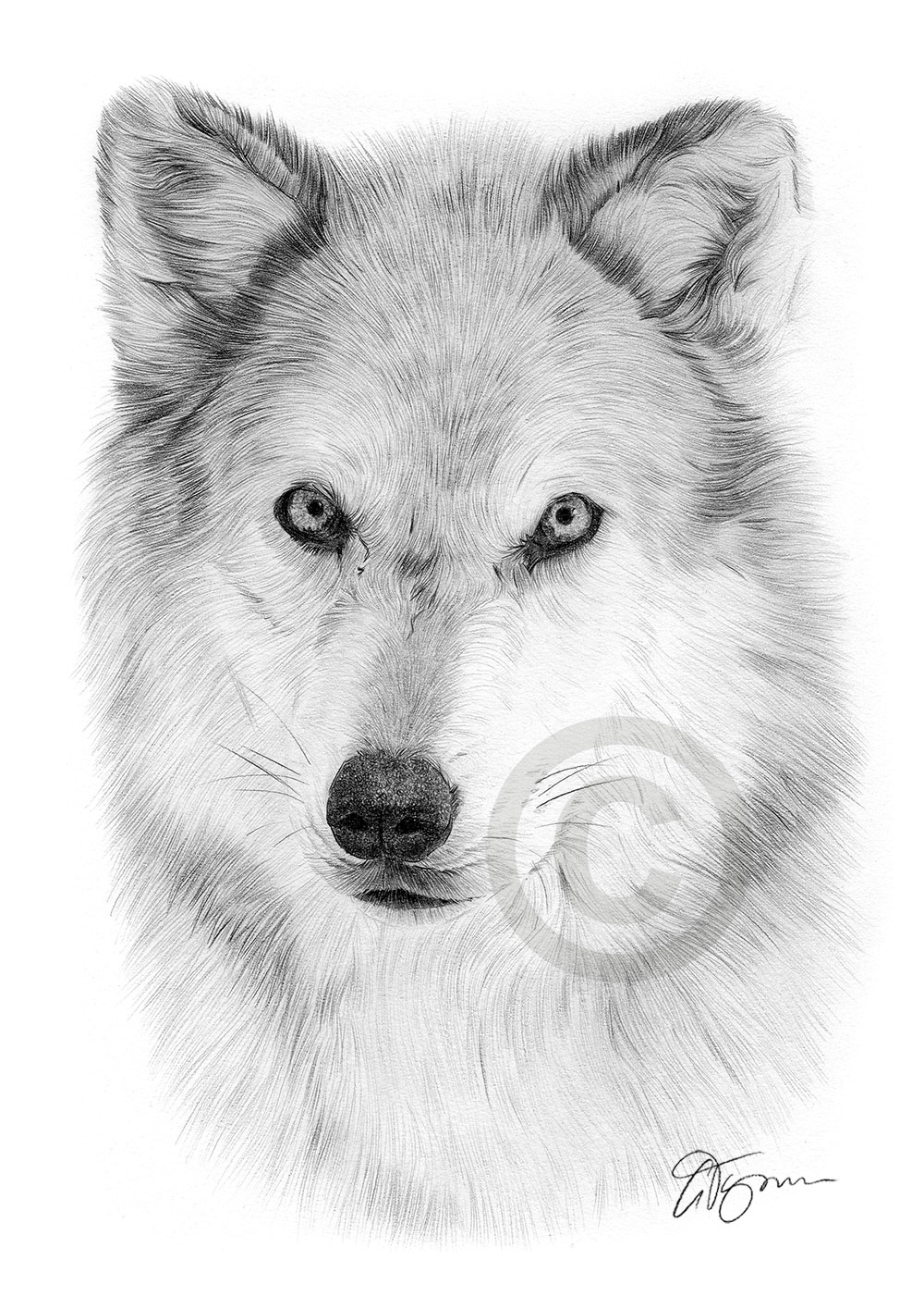 Details about arctic wolf pencil drawing art print a3 a4 sizes signed by uk artist