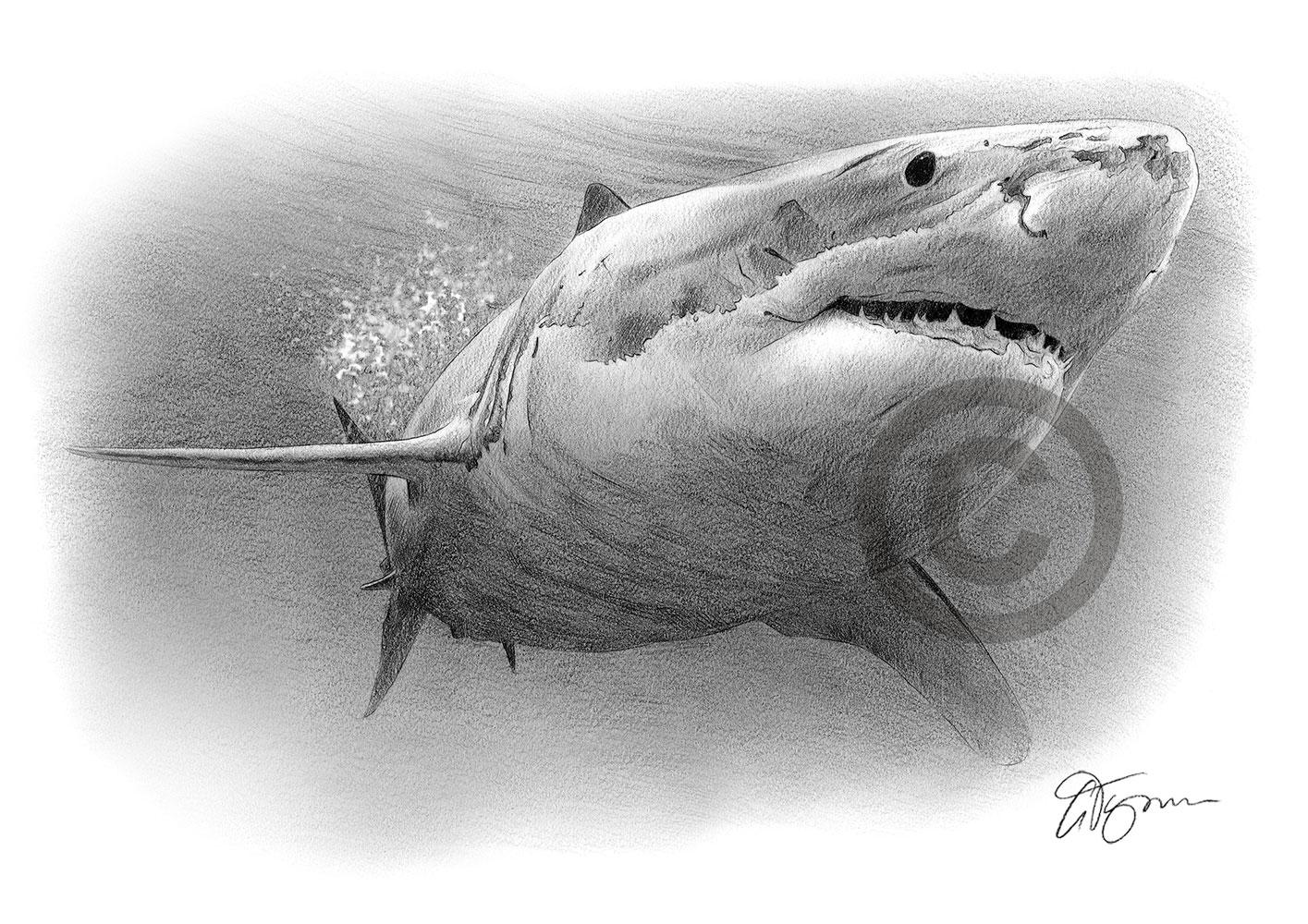 Grande squalo bianco disegno a matita art print a4 a3 for Disegno squalo