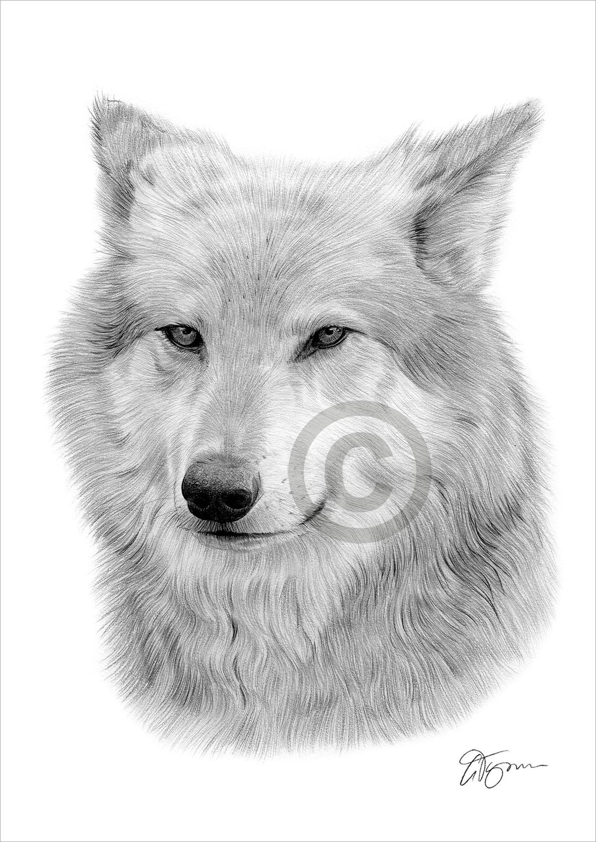 Details about portrait of grey wolf pencil drawing print a3 a4 sizes signed artwork