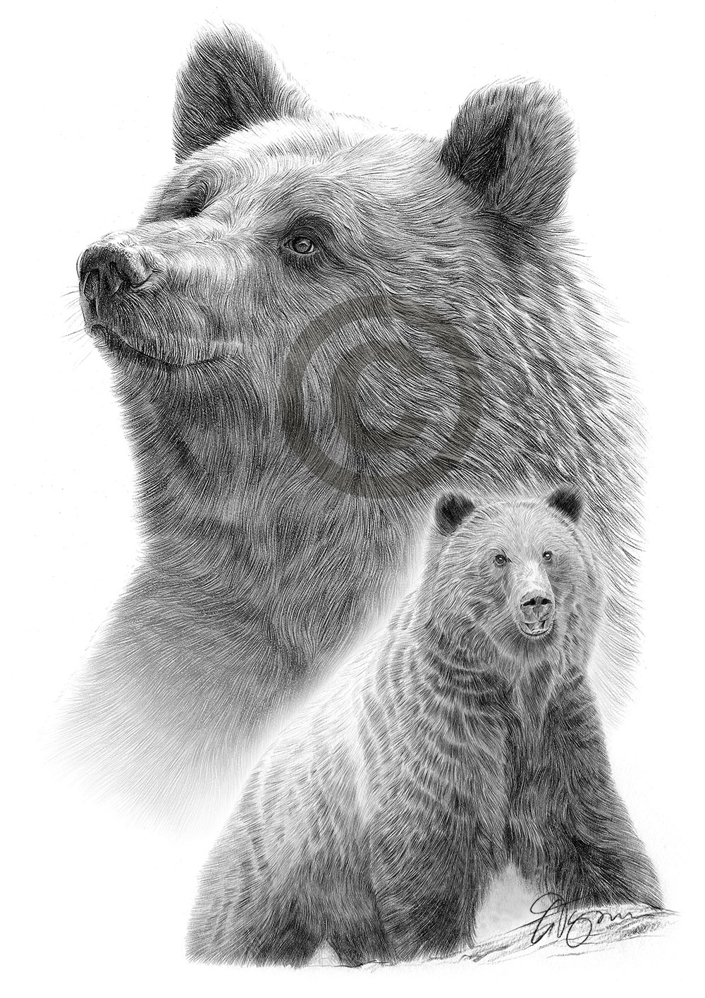Details about grizzly bear pencil drawing artwork print a3 size by uk artist art