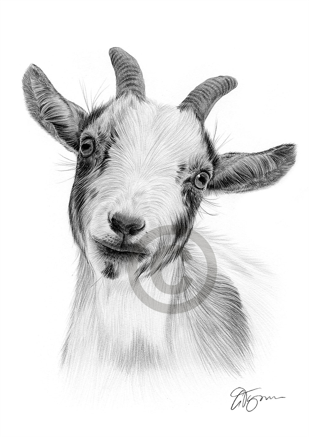 Details about GOAT Pencil Drawing Print - Wildlife art - A4 only signed by  artist Gary Tymon