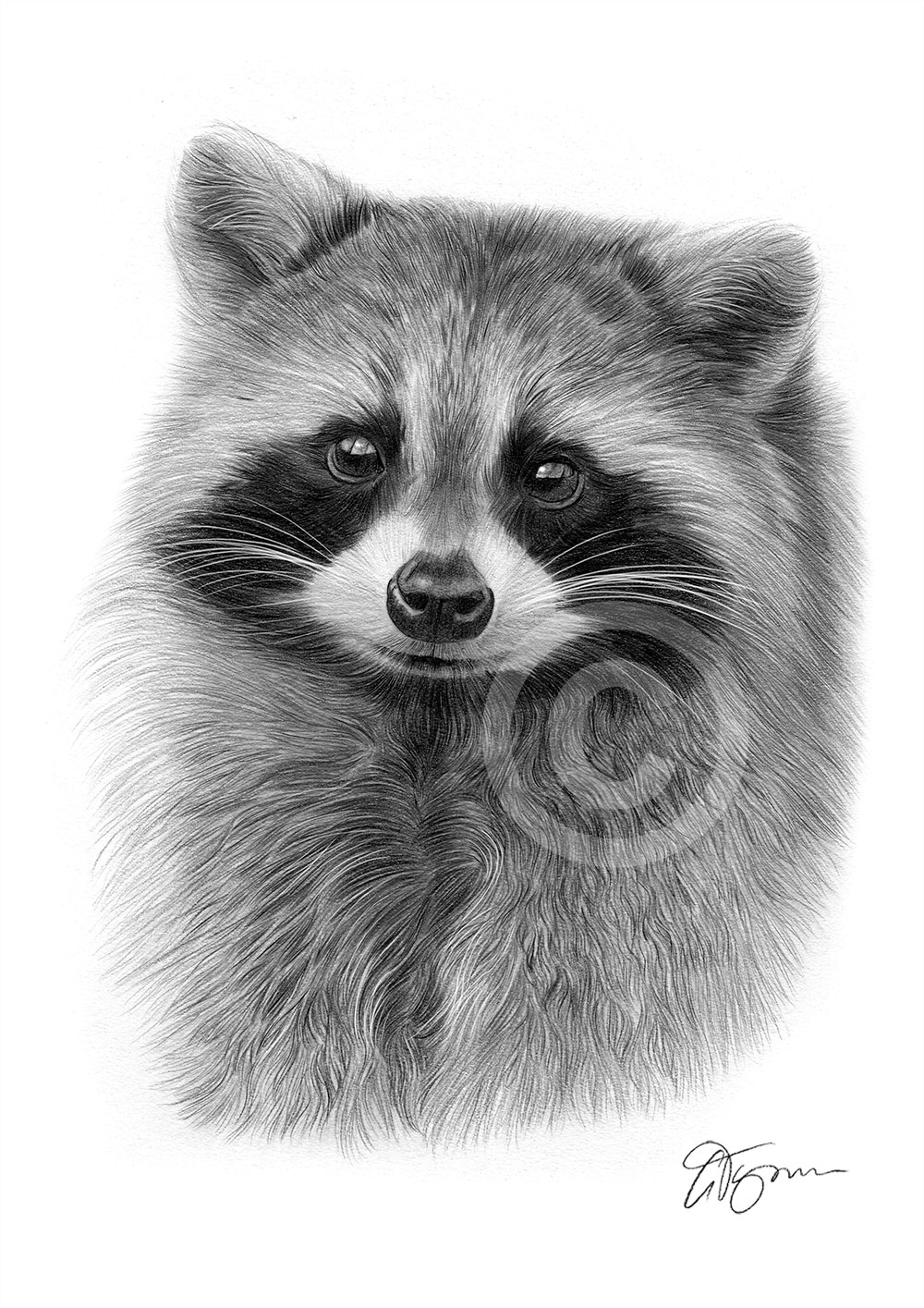 RACCOON art pencil drawing print A4 / A3 signed animal ... Raccoon Drawing