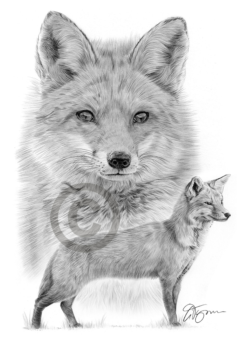 2 Limited Edit art drawing print  2 sizes A4//A3 /& card available RED FOX