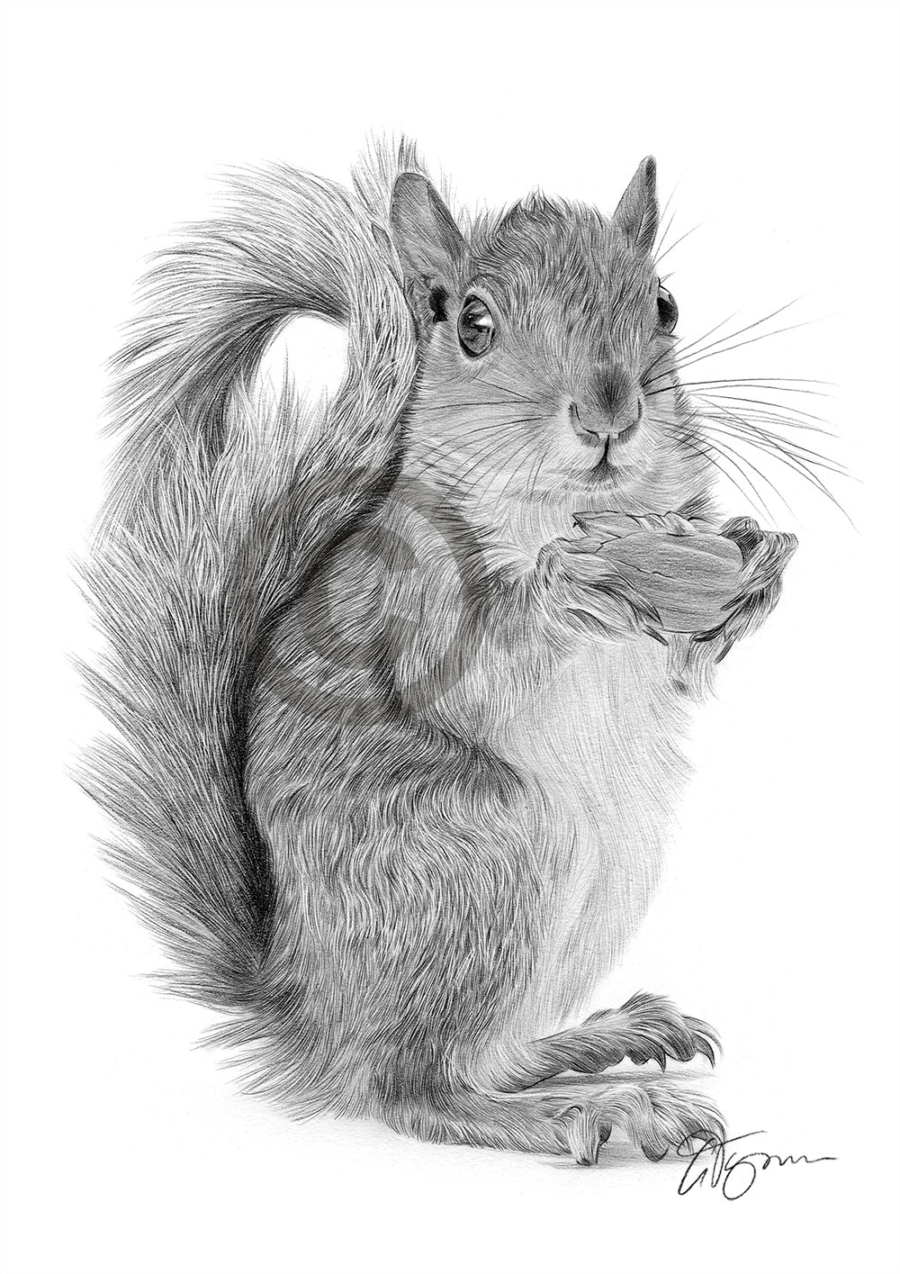 red squirrel pencil drawing print a4 only signed by artist
