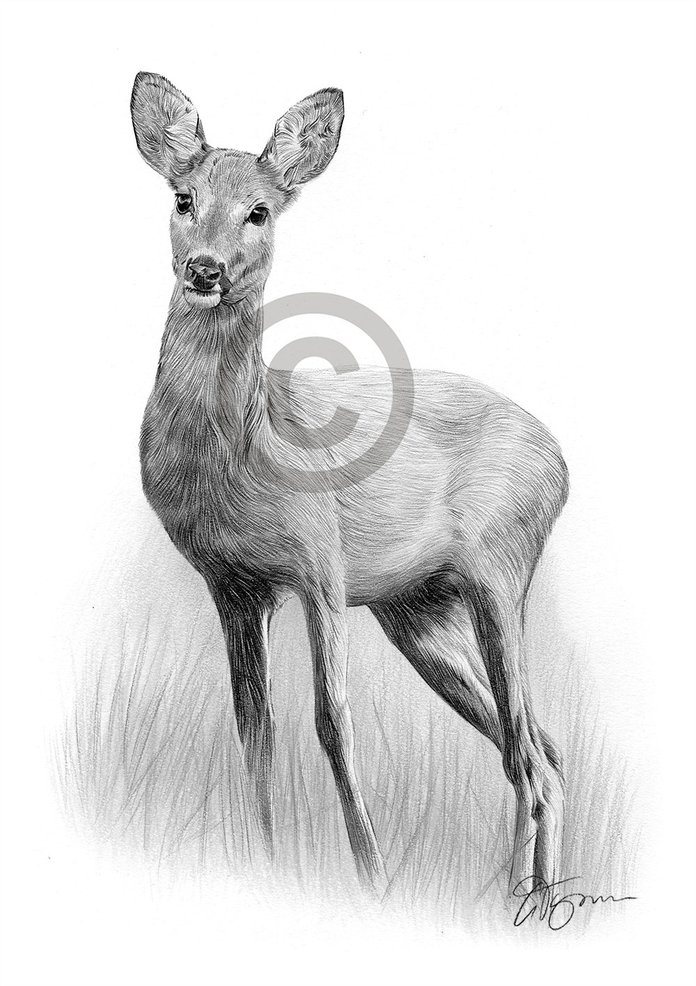 Details about roe deer pencil graphite print a4 a3 signed by uk artist drawing art