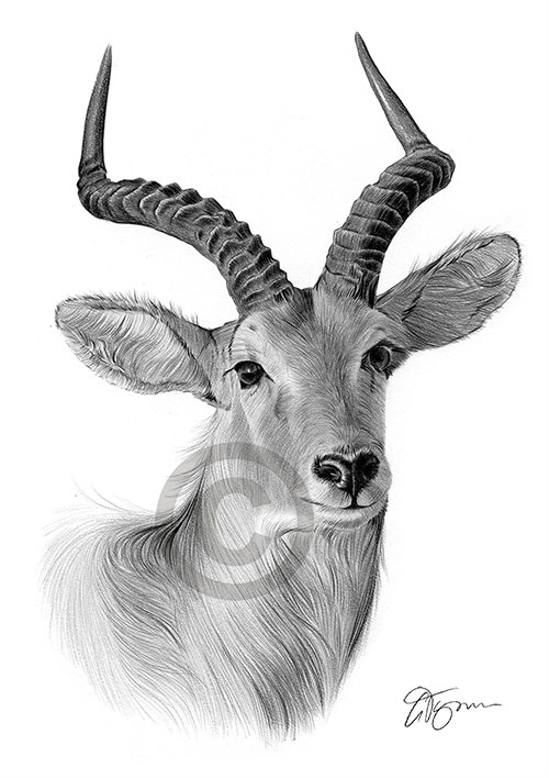 A4 sizes signed artwork Silverback GORILLA art pencil drawing print A3