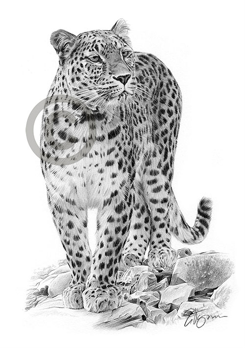 Pencil drawing of a Persian Leopard
