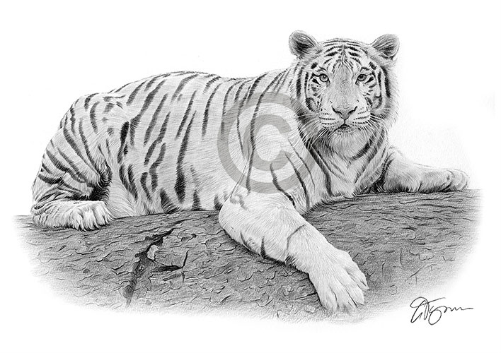 Pencil drawing of a White Bengal Tiger