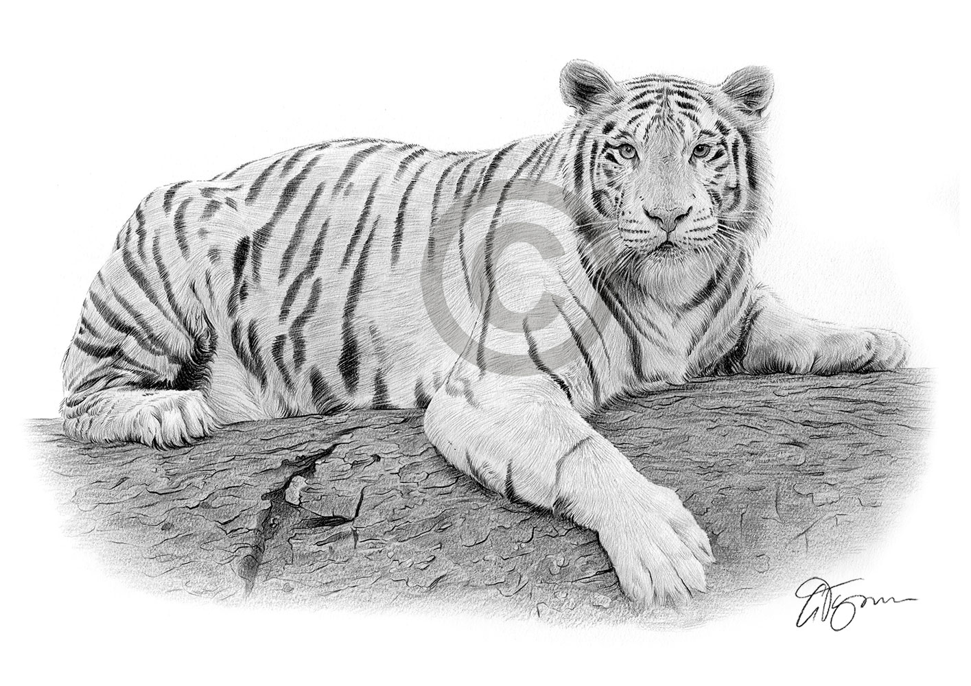White Bengal Tiger pencil drawing by artist Gary Tymon