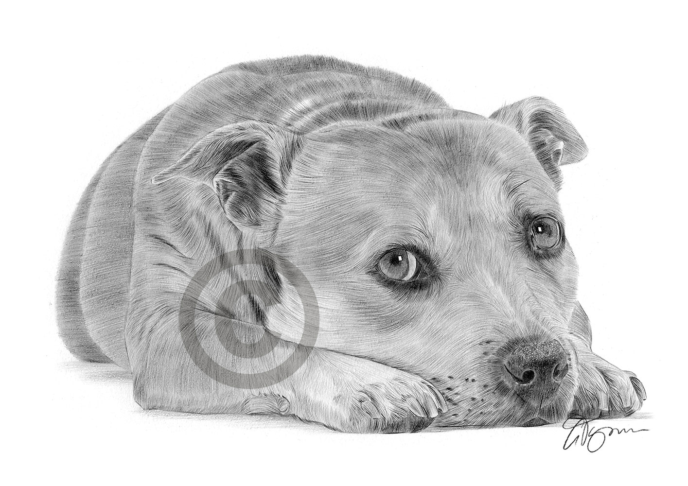 bull terrier artist staffordshire bull terrier staffy dog pencil drawing art 8881