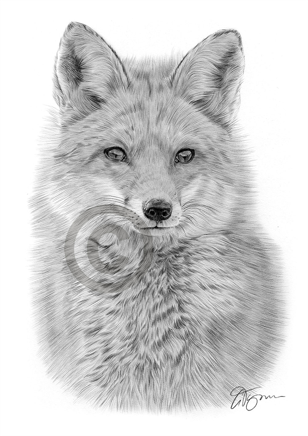 It is an image of Rare Fox Pencil Drawing